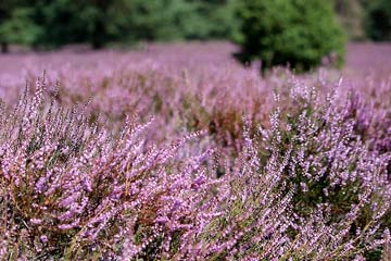 Witchcraft Uses of Heather