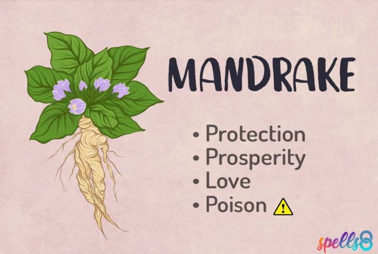 Witchcraft Uses of Mandrake